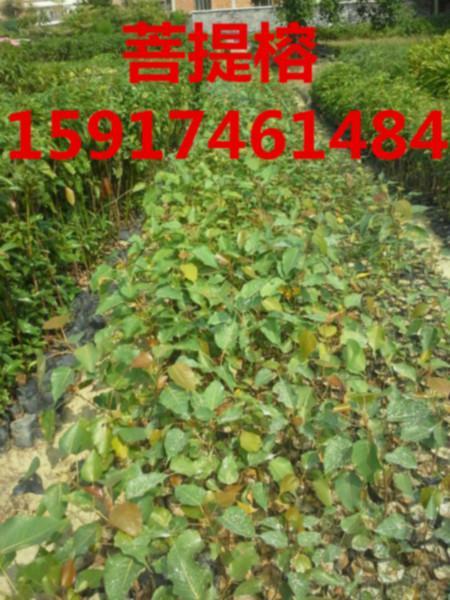 供应广州哪里有菩提榕苗,广州菩提榕树苗基地,广州哪里菩提榕批发价便宜