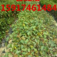 供应菩提榕苗木便宜价格,15917461484,广州菩提榕价格,广东菩提榕