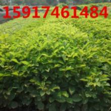 供应黄花风铃苗木,黄花风铃种苗价格,黄花风铃树苗,黄花风铃苗供应商