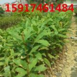 供应玉蕊树苗供应商,玉蕊小苗报价,玉蕊袋苗批发,玉蕊苗价格,南方玉蕊