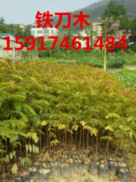 供应用于绿化造林|广东铁刀木|南方铁刀木的广东广州40公分高铁刀木批发,南方70公分高铁刀木小苗供货商