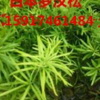 供应广东哪里有黄槐袋苗,广东哪里的黄槐袋苗便宜,广东哪里有黄槐批发商