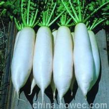 供应亚新百-白萝卜种子,韩国萝卜种子,白萝卜种子批发