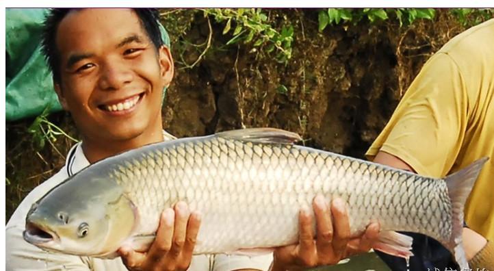 养殖脆皖鱼图片