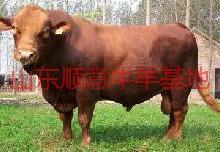 供应用于繁殖与育肥的黄牛