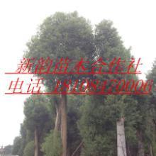 供应香樟益阳香樟,香樟大树首选湖南绿之韵苗圃图片