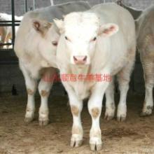供应用于育肥与繁殖的夏洛莱牛养殖