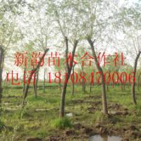 供应垂柳产地,垂柳生产厂家报价 垂柳产地在湖南