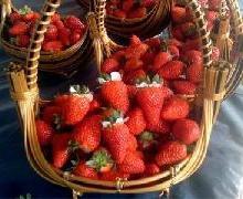 供应兴旺草莓批发电话,兴旺草莓批发供应商