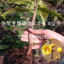 供应腊梅花苗/当年生腊梅小苗价格/行播腊梅苗比床播腊梅小苗好多了图片