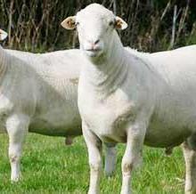 供应白山羊品种/白山羊养殖