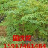 供应五一优惠出售国庆花 优惠出售国庆花及其它绿化种苗造林苗 国庆花价位