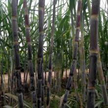 供应山西甘蔗种苗三彩蜜蔗,糖蜜5号批发
