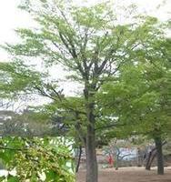 供应重阳木供货商-江苏重阳木供货商电话-江苏哪家重阳木价格最便宜