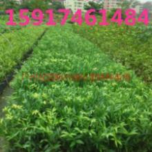 供应竹柏种苗市场价格,南方竹柏小苗基地,广州竹柏苗木批发,竹柏苗