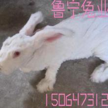 供应安徽省安庆长毛兔联合养殖