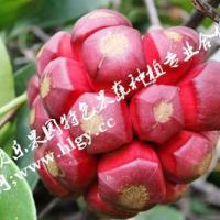 供应江西布福娜,布福娜种植技术黑老虎苗价格