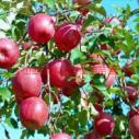 山西优质苹果苗运营商图片