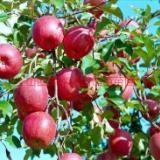 供应用于种植|管理的山西优质苹果苗运营商