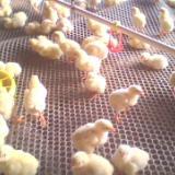 供应塑料养鸡鸭兔网/扬博网业