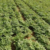 牡丹小苗批发价格,牡丹苗种植,1-3年牡丹苗优惠销售 牡丹小苗批发价格 出售牡丹苗