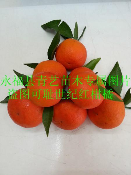 供应华南世纪红柑橘果苗供应电话
