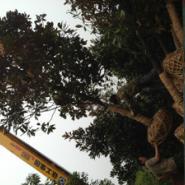 河南12公分广玉兰苗木供货商图片