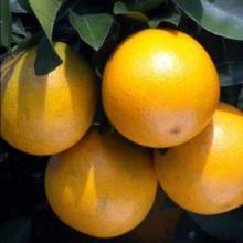 供应冰糖橙价格图片
