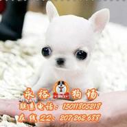 广州吉娃娃多少钱图片