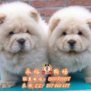 广州买松狮犬到哪里好图片
