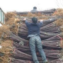 供应2公分梨树梨树批发山西运城市绛县红利苗圃151-1046-9352看货挖苗图片