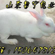 供应近期獭兔价格