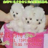 广州博美宠物狗图片