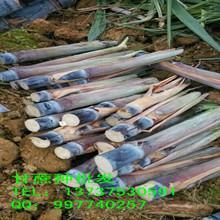 供应黑皮甘蔗种子,甘蔗种,黑皮甘蔗种苗,广西黑皮甘蔗种苗,批发甘蔗种