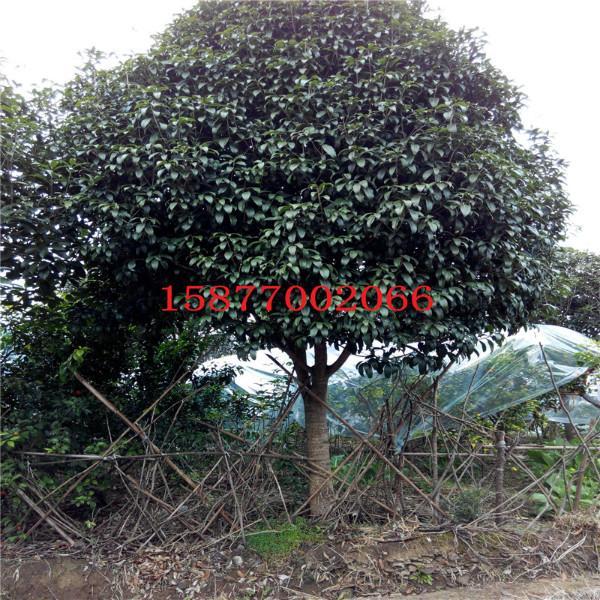 供应广西桂花树,广西桂花树批发价格