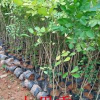 供应用于绿化种苗|造林苗的广州九里香批发