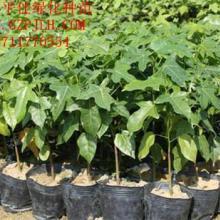 供应澳洲火焰木/优质澳洲火焰木种苗/澳洲火焰木袋苗批发