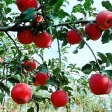 供应红星苹果降价了图片