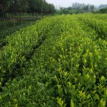 供应用于普洱茶的龙陵县大叶种茶苗、楚雄市茶叶苗