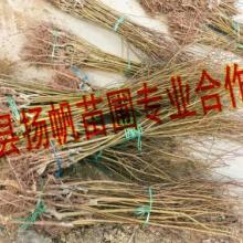 供应关于山杏苗的资讯-山杏苗价格-山杏苗批发