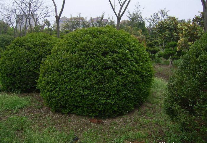 球类植物裥球类植物基地——规模最大的球类植物,