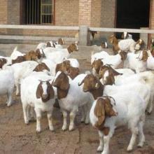 供应育肥波尔山羊