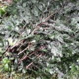 供应南方红豆杉新鲜枝叶/红豆杉价格/求购红豆杉/红豆杉图片