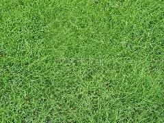 秦皇岛草坪、秦皇岛草坪销售