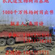 杨树苗基地欧美107图片