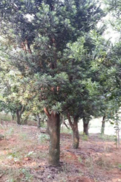 供应罗汉松树价格,四川罗汉松树价格,广州罗汉松树价格