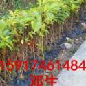 广州市乐昌含笑图片