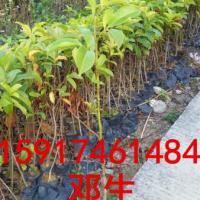 供应广州龙洞乐昌含笑30公分起优惠批发出售乐昌含笑及其它绿化种苗造林苗