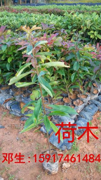 供应用于绿化造林的广东广州30公分高荷木小苗出售,南方荷木袋苗供应商,荷木种苗批发价,50公分高荷木树苗便宜价格