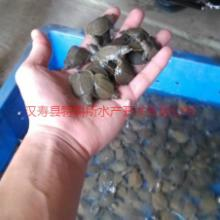 供应用于养殖的湖南购买甲鱼苗哪里有卖多少钱一只/纯种中华鳖甲鱼苗养殖场批发价格批发